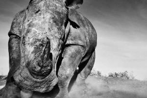 """""""A la carga"""" - Lewa, Kenia"""