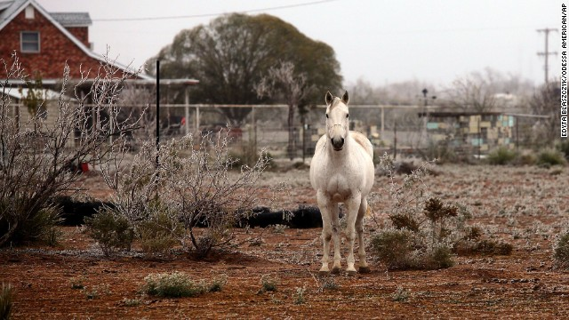 A white horse roams an icy patch of land in the morning on Saturday, November 23, in Odessa, Texas.