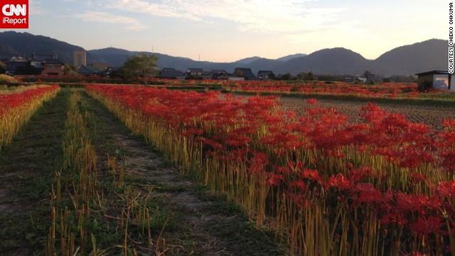 Row after row of cluster amaryllis bloom during fall in Kyoto.