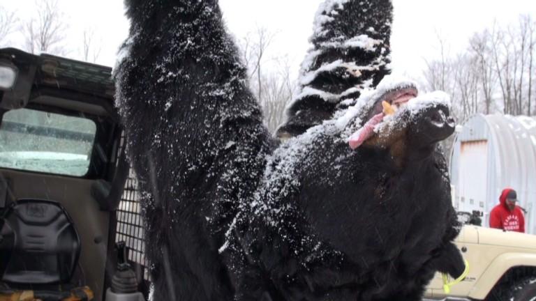 772-pound black bear