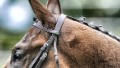 This image was processed using digital filters. Horses head at Ascot racecourse on May 11, 2013 in Ascot, England.
