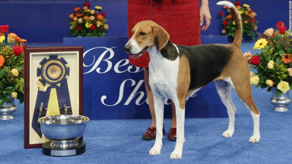 Jewel, an American foxhound, wins best in show at the National Dog Show on November 16 in Philadelphia. The show aired on NBC on Thursday, November 28.