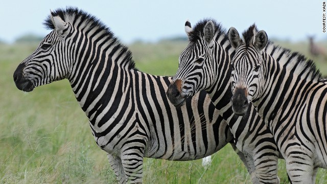 Zebra in Botswana's Chobe District number over 8,000.