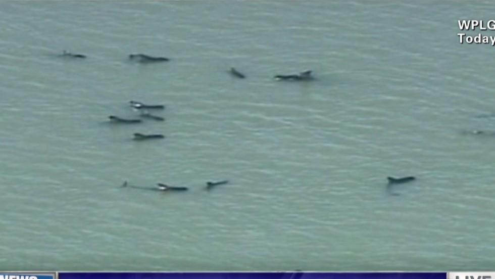 Decenas de ballenas varadas luchan por sobrevivir