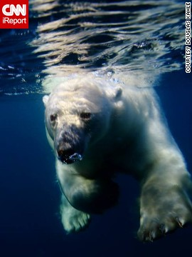 A polar bear swims in the open waters of Canada's Repulse Bay. Douglas Kahle captured this underwater image by hanging off the back of a boat -- in a very thick wetsuit, of course.
