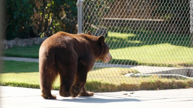 A bear ambles in a Montrose, California, neighborhood. Bears come to urban areas for water, pet food and trash.