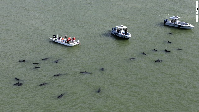 Officials in boats monitor dozens of pilot whales that are stranded in shallow water in a remote area of Florida's Everglades National Park, on Wednesday, December 4.