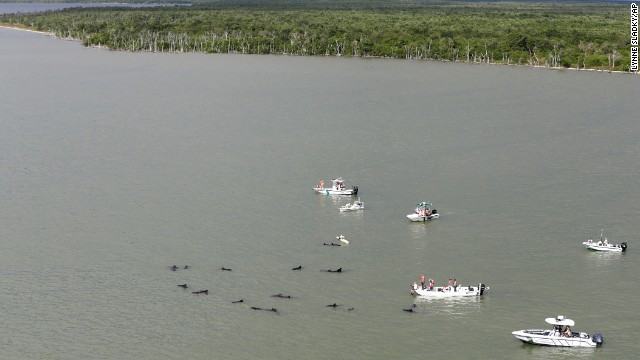 Officials monitor the scene where dozens of pilot whales are stranded in shallow water.