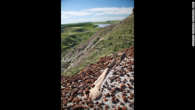 A fossilized bone can be seen exposed on the ground at Dinosaur Provincial Park.