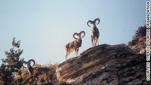 Mouflon, aka scaredy-sheep.