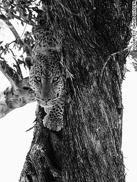 A female leopard climbs a fig tree. Talek River, Masai Mara National Reserve, Kenya, 2007.