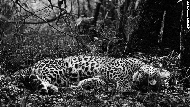 In this iconic Gulden shot, a mother leopard takes a late morning nap. Taken in Itong Hills, Masai Mara National Reserve, Kenya, 2006.