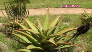 The garden includes an abundance of native plants including aloe which flowers in the winter.