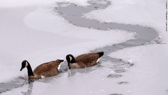 Two geese paddle along the single remaining channel in a frozen pond in Norfolk, Massachusetts, on Sunday, December 15. A fast-moving winter storm dropped about 6 inches of snow on the area during the night before changing to rain in the early morning. A winter storm covered much of the Northeast, leaving a foot of snow on parts of New England.