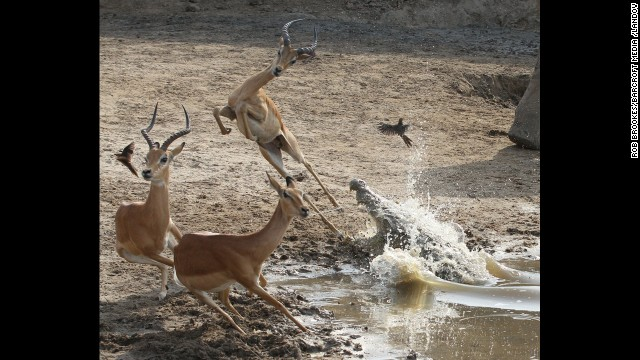 <strong>December 11:</strong> An impala leaps high into the air to avoid the gaping jaws of a crocodile in South Luangwa National Park in Zambia.