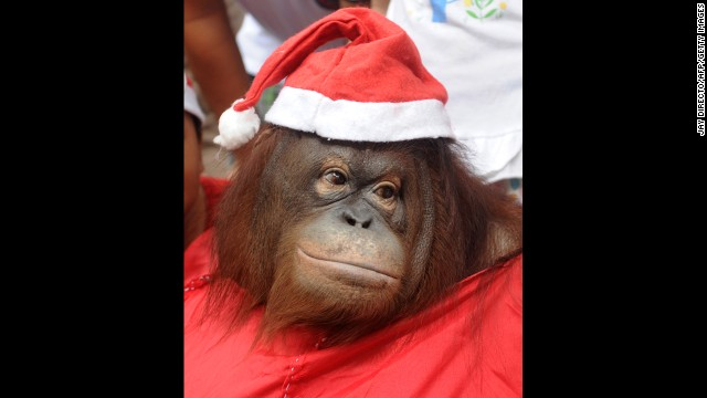 An orangutan named Pacquiao wears a Santa costume at the Malabon Zoo in Malabon City, Philippines, on December 15.