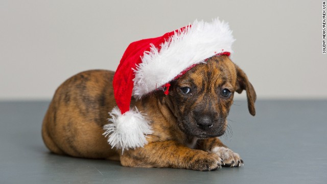 A puppy poses for a picture on December 9 at the Blue Cross center in Southampton, Britain. The adoption facility is looking for new owners for the 12 dogs of Christmas -- a dozen puppies from the same litter who are just six weeks old.