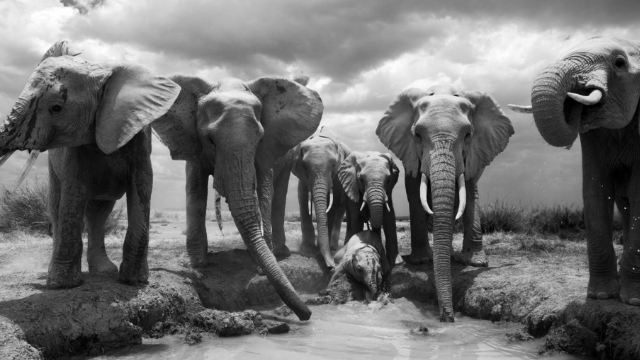 Thirsty after a long walk across the desert, an elephant family drinks up. Amboseli National Park, Kenya, 2011.