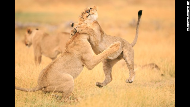 <strong>December 18:</strong> A lioness wraps her paws around another lioness at the Moremi Game Reserve in Botswana.