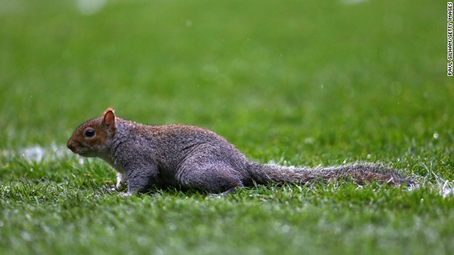 Squirrel invades pitch