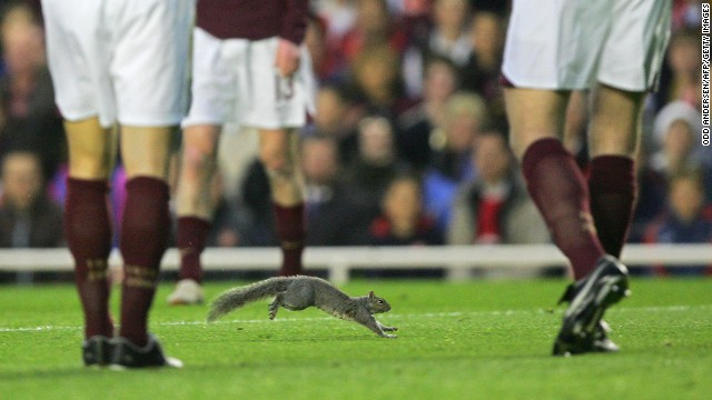 Squirrels seem to have a liking for English football as one also entered the field of play at Highbury in 2006 during a Champions League clash between Arsenal and Villarreal.