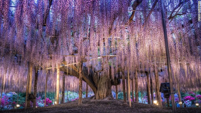 Inspiration for Avatar's 'Tree of Souls'? Eighty kilometers from <a href='http://travel.cnn.com/tokyo'>Tokyo</a>. the Ashikaga Flower Garden features this incredible 143-year-old wisteria tree.