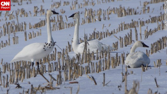 A friendly sight in winter: Trumpeter swans spotted in a Minnesota corn field.