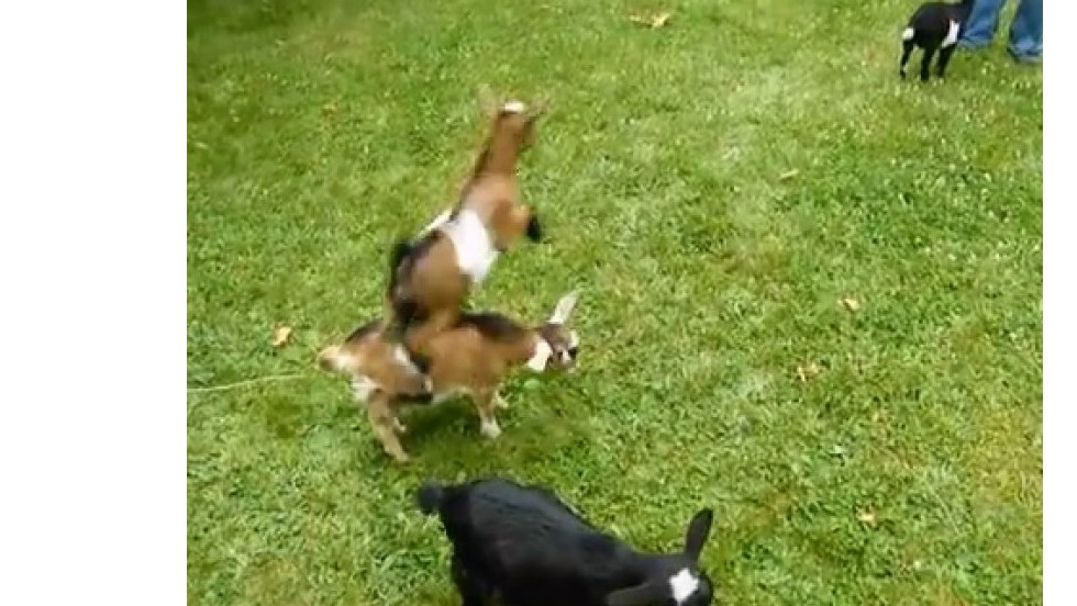 ¡Buttermilk, la cabra saltarina!