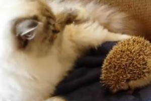 Gato se sienta sobre un erizo