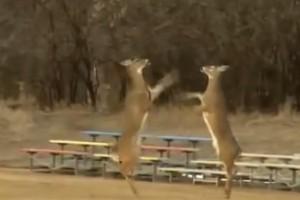 Pelea de ciervos atrapada por una cámara