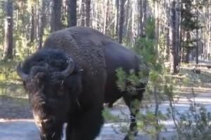Cómo guardar silencio cerca de un bisonte