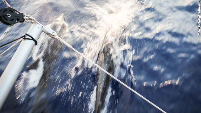 A shoal of dolphins takes close order with the team's support boat during the Atlantic crossing.