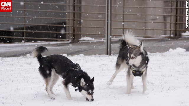 "The unbelievably cold weather in New York City didn't stop <a href='http://ireport.cnn.com/docs/DOC-1072605'>Dan Gareau's </a>two mini huskies from running wild in Central Park. He says Voxel and Pixel were made for the snow. ""They play, prance, roll around, bite snowballs in the air,"" he said."