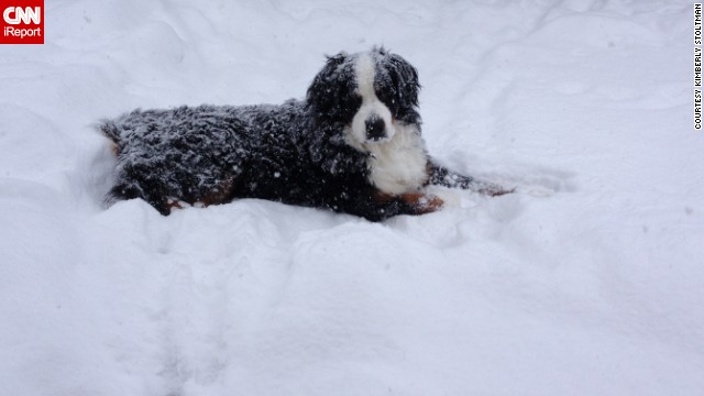 "<a href='http://ireport.cnn.com/docs/DOC-1072527'>Kimberly Stoltman's</a> bernese mountain dog Cole just wanted to sprawl out in the snow that piled up in their back yard in Arlington Heights, Illinois, on January 3. ""I have to bribe him with food to get him in and even that doesn't always work,"" she said."