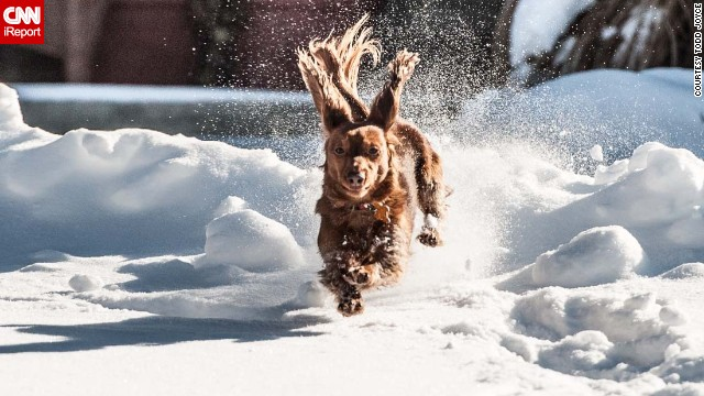 A massive snowstorm that affected nearly a third of the nation left many people not wanting to leave their homes. But countless dogs, like <a href='http://ireport.cnn.com/docs/DOC-1072983'>Todd Joyce's</a> pup Ginger, couldn't resist playing in the snow. Here's Ginger on a brief excursion in their snowy neighborhood of Lebanon, Ohio.