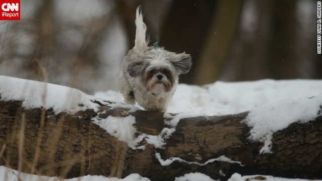 <a href='http://ireport.cnn.com/docs/DOC-1072930'>Evan Sanders</a> shot this photo of his girlfriend's dog, Valentino, a shih tzu mix, romping in the snow while they hiked the trails in Pittsburgh's Emerald Park Sunday.