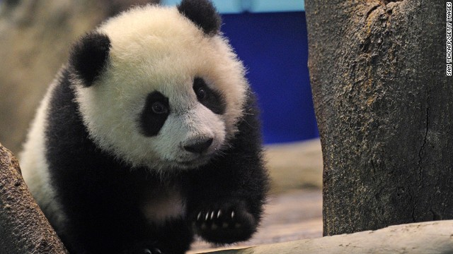 Taiwan's first native-born giant panda, six-month-old Yuan Zai, was unveiled to a rapt public at Taipei Zoo Monday.