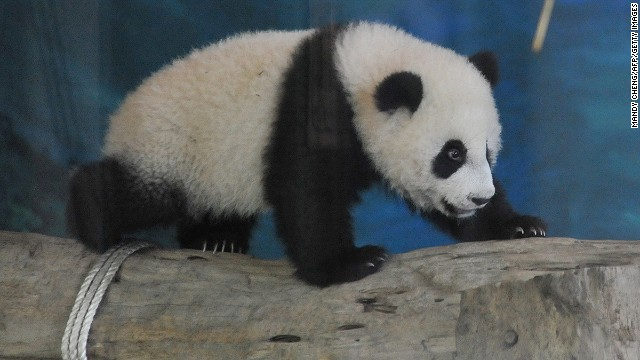 Giant pandas are endangered species that mainly reside in China's Sichuan province.