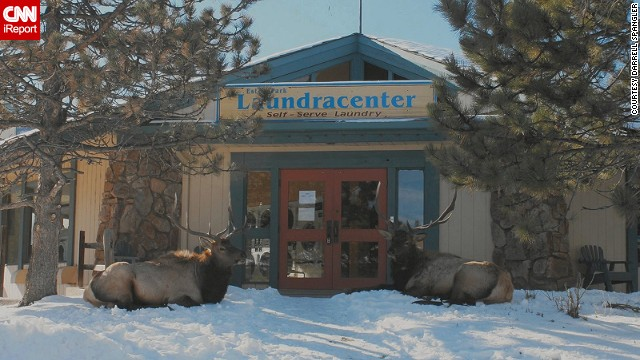 "Two elk stand guard outside a Colorado laundromat. ""The elk were very calm,"" said Darrell Spangler, one of several people who stopped to take a photo. ""They stayed in this spot for most of the day, finally heading off into the field at sunset."""
