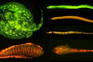 Los peces biofluorescentes