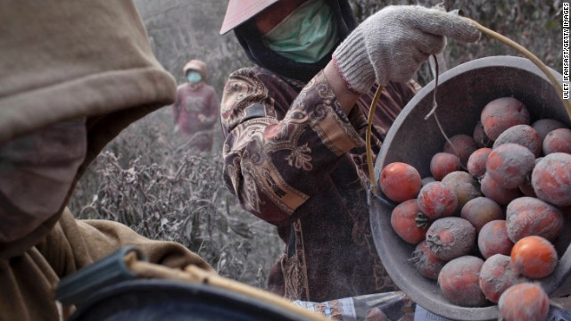 Villagers harvest tomatoes from fields covered in ash.