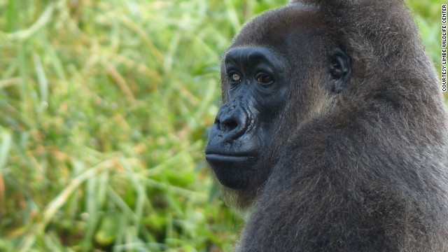 It gives visitors a chance to see some of Cameroon's most impressive wildlife up close.