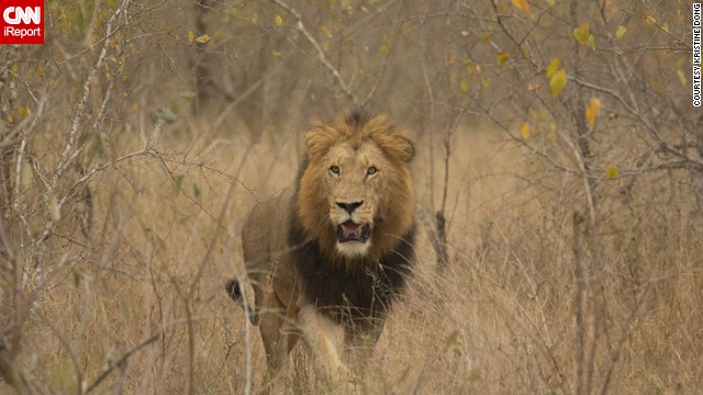 "A lion prowls Londolozi Game Reserve. Kristine Dong says visiting the reserve was ""the happiest I'd ever been in my life."" See more of her photos, including shots of zebras, birds and a rhinoceros, on CNN iReport."