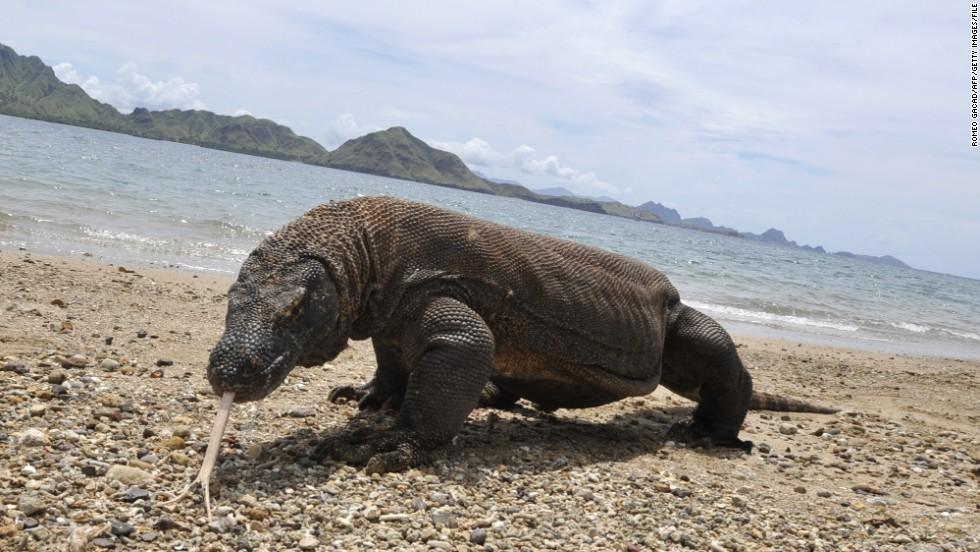 Junio: Ver al dragón de Komodo