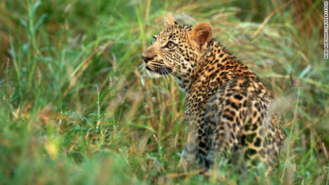 "Head into South Africa's Sabi Sand Reserve in search of the ""Big Five"" (lions, leopards, elephants, rhinos and Cape buffalo)."
