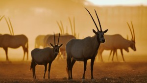 Arabian oryx: Sheik Zayed\'s first conservation love.
