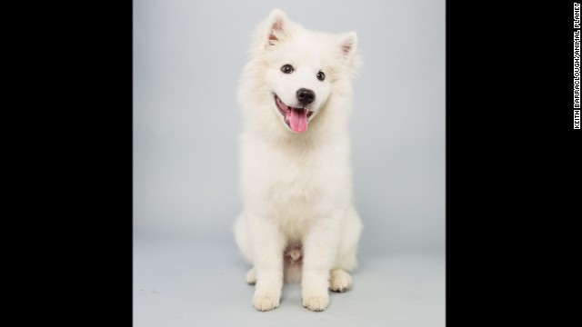 <strong>Name: </strong>Brody. <strong>Age: </strong>15 weeks. <strong>Breed: </strong>American Eskimo.