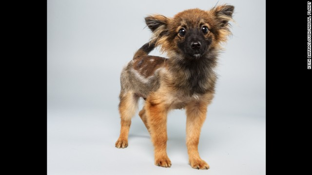 <strong>Name: </strong>Danny. <strong>Age:</strong> 12 weeks. <strong>Breed:</strong> Papillon mix.