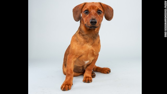 <strong>Name:</strong> Mandy. <strong>Age: </strong>17 weeks. <strong>Breed:</strong> Dachshund hound mix.