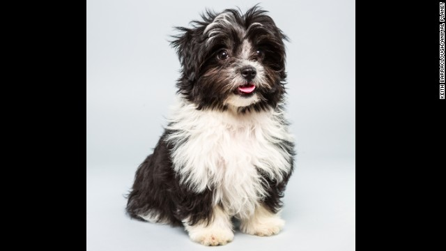<strong>Name: </strong>Pong. <strong>Age: </strong>12 week.s <strong>Breed: </strong>Havanese Shih Tzu mix.